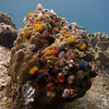 Christmas Tree Worms (Spirobranchus giganteus) covering a Porites coral