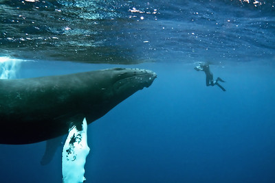 """First Contact"" Humpback whale and diver Silver Banks, Dominican Republic"