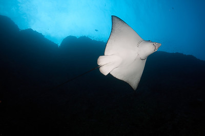 Spotted Eagle Ray Big Dos Amigos, Cocos