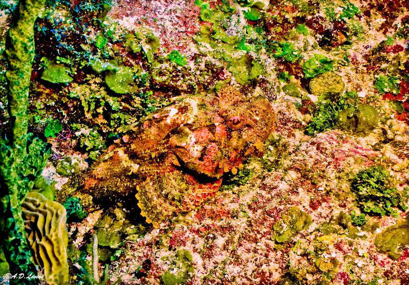 scorpionfish enlgd