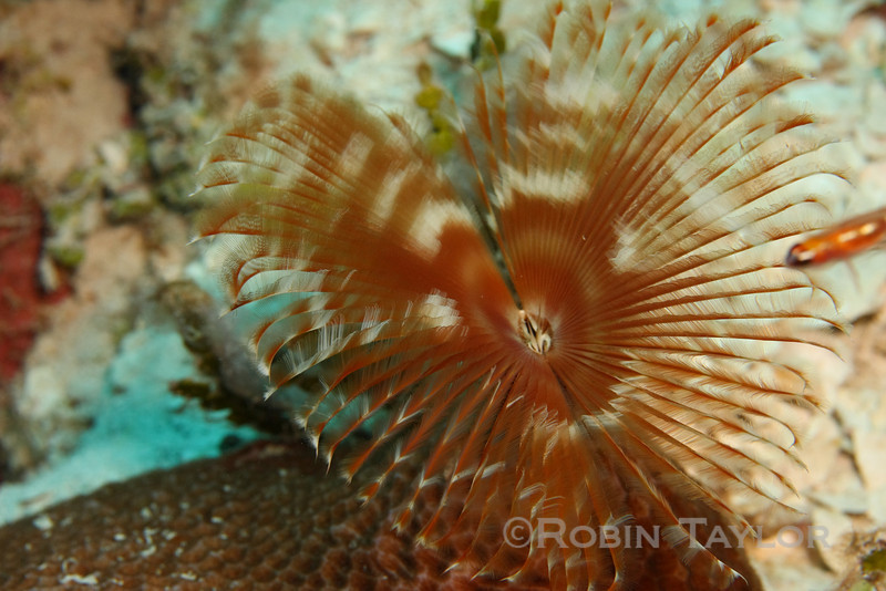Another species of Feather-Duster Worm.