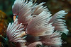 Feather Duster Worms.