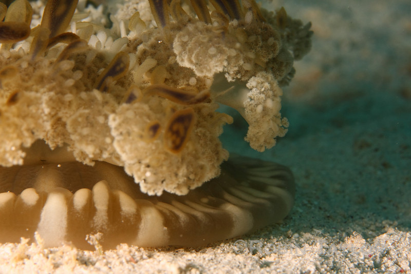 An Upside-Down Jellyfish pulses its mantle to draw water (and food) over its tentacles.