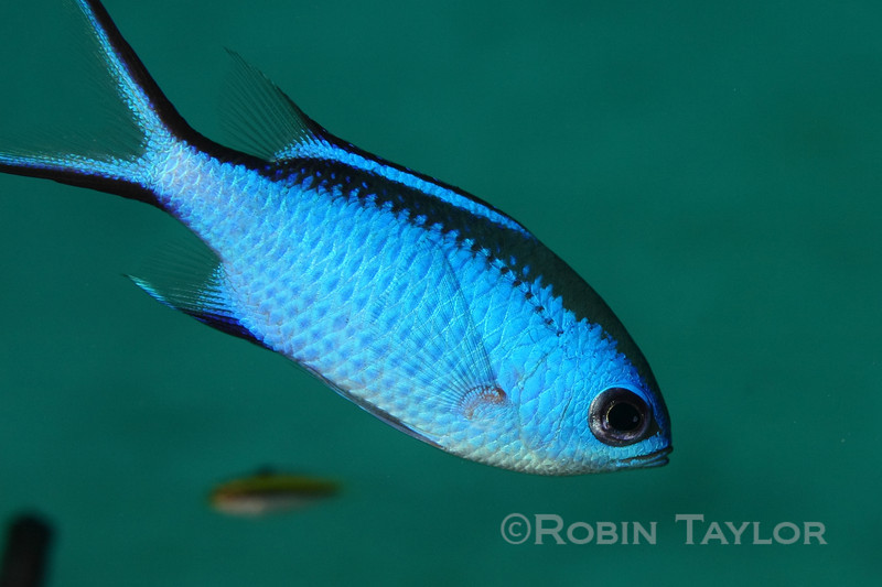 A Blue Chromis shows the iridescence that gives it its name.