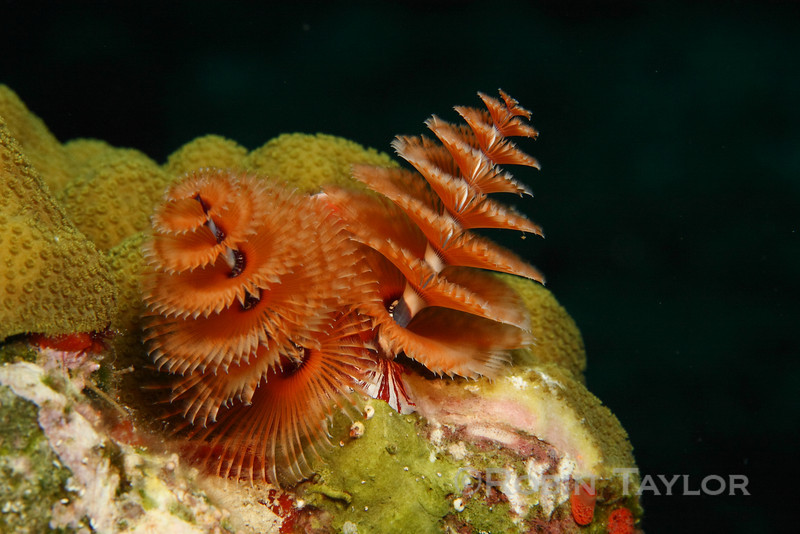 A Christmas tree worm sifting the water.
