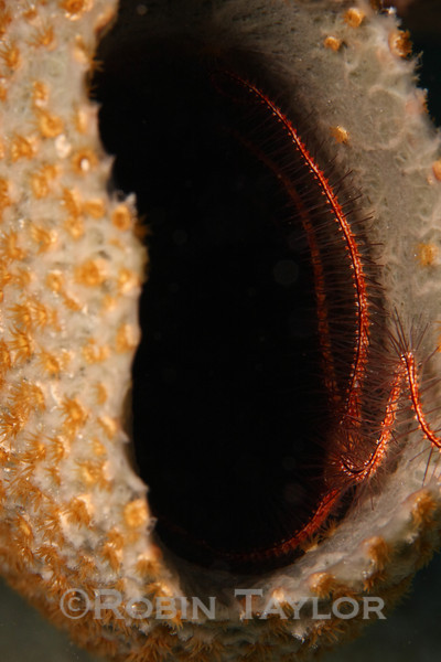 A Brittle Star, relative of the starfish, hides from the light of day in a sponge.