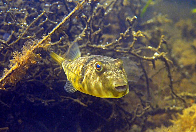 Blowfish 3