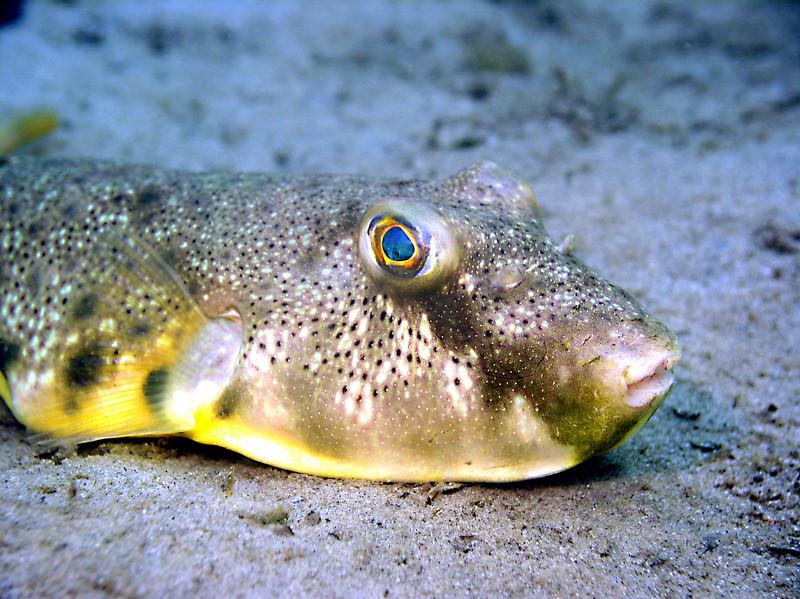 Blowfish 5