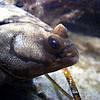 Flounder 4