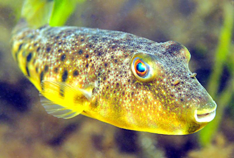 Blowfish 2