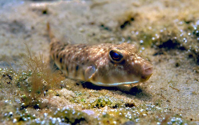 Blowfish 4