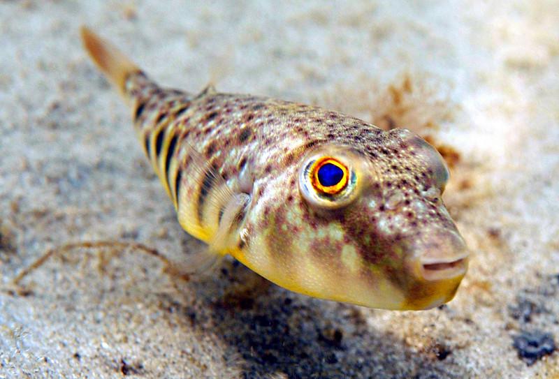 Blowfish 6