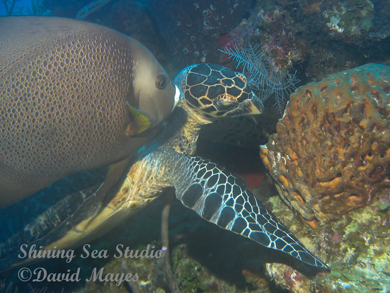 Hawksbill Turtle and French angel at Grand Turk