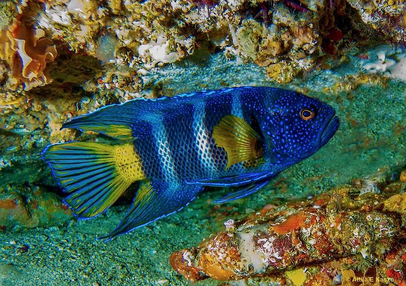 Bleekers Blue Devil Fish (Paraplessiops bleekeri) Crocodile Hd., Jervis Bay MP., Shoalhaven, NSW
