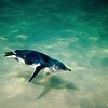 Fairy Penguin (Eudyptula minor) Underwater<br /> Bowen Is., Jervis Bay, Shoalhaven, NSW