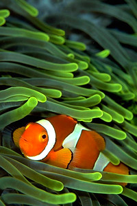 a clownfish rests amidst the nematocyst laden tentacles of an anemone, found on top of a rock spire at about 80 feet of depth, solomon islands.