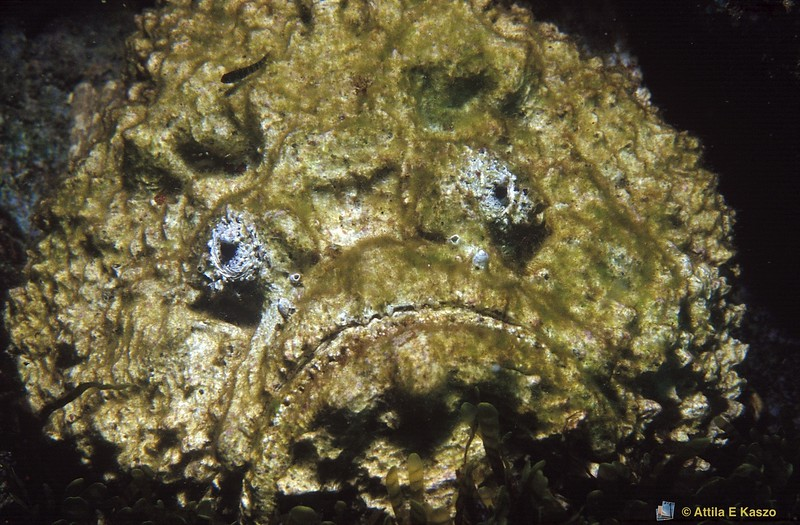 Horrid Stonefish (Synanceia horrida)<br /> Middleton Reef, NSW