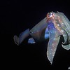 Giant Australian Cuttlefish (Sepia apama)<br /> Drum & Drumsticks, Jervis Bay MP, Shoalhaven, NSW