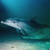 Bottlenose Dolphin (Tursiops truncatus)<br /> Qld