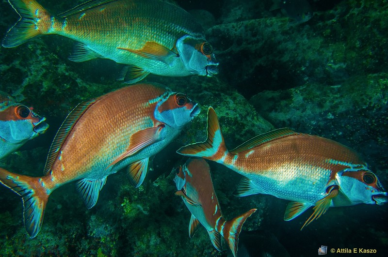 Red Morwong (Cheilodactylus fuscus) Jervis Bay, Shoalhaven, NSW
