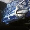 Grey Nurse Shark (Carcharius taurus)<br /> Shark capture Seaworld<br /> North Stradbroke Is., QLD