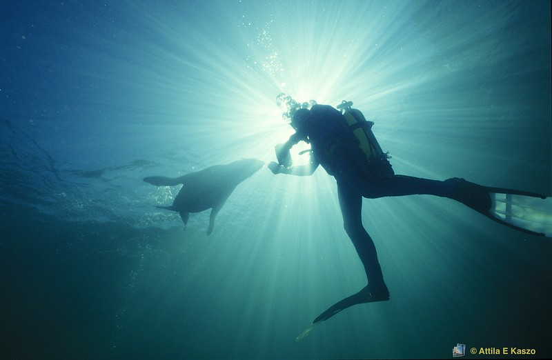 Australian Fur Seal / Diver (Arctocephalus pusilis)<br /> Gold Coast, Qld.