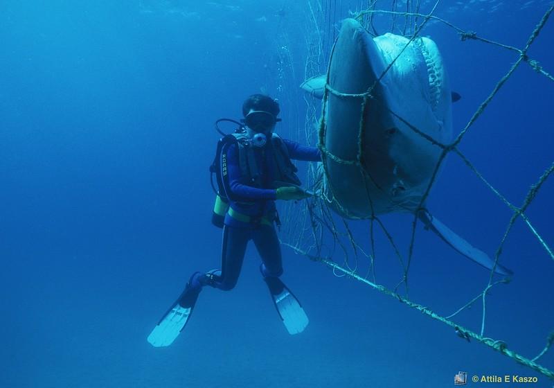 Bull Shark / Diver (Carcharhinus leucas) 3.6mtr<br /> Kirra, Qld.