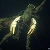 Murray Crayfish (Euastacus armatus)<br /> Jounama Ponds, Tumut, NSW