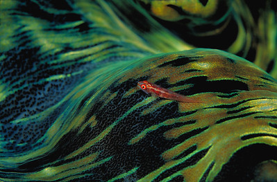 a fire goby rests near a predictable food source: the mouth of a tridacna clam, Palau, fujichrome velvia.