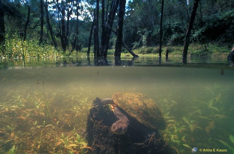 Eastern Snake-necked Turtle (Chelodina longicollis)<br /> Jounama Ponds, NSW