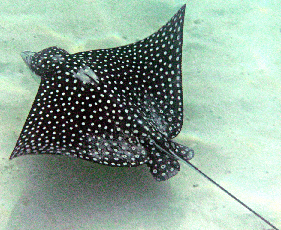 Snorkeling at Carlos Rosario Beach-Culebra-Spotted Eagle Ray
