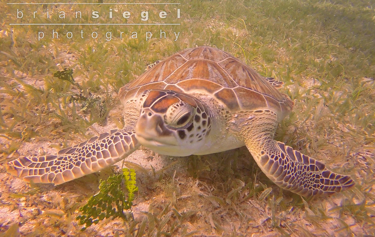 Green Sea Turtle at Leinster Bay