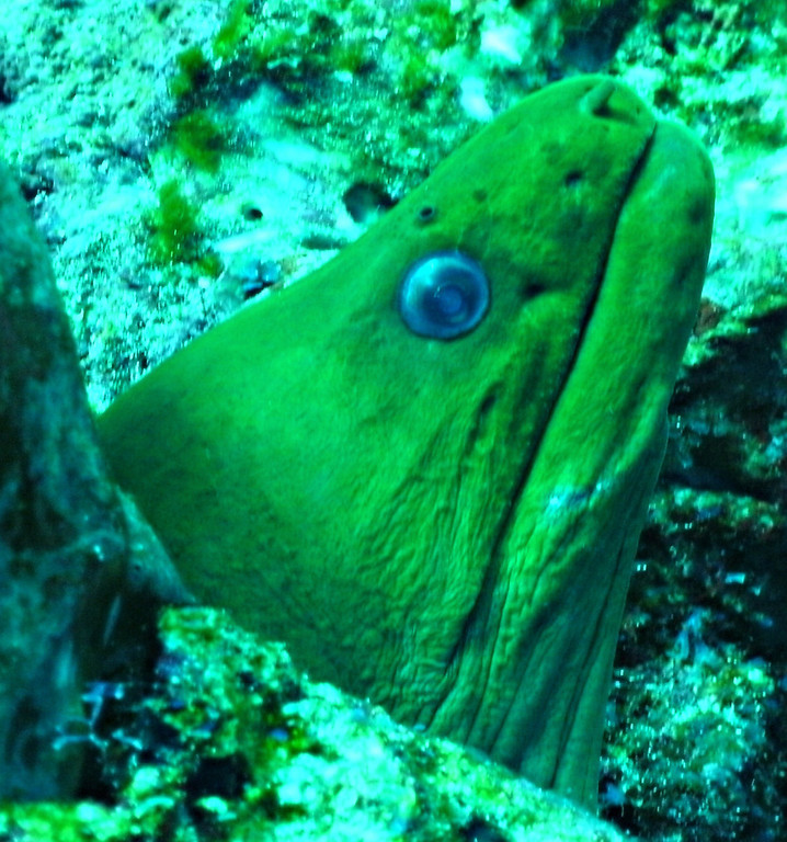 Green Moray Eel. Diving with Pepe. Cozumel Mexico.