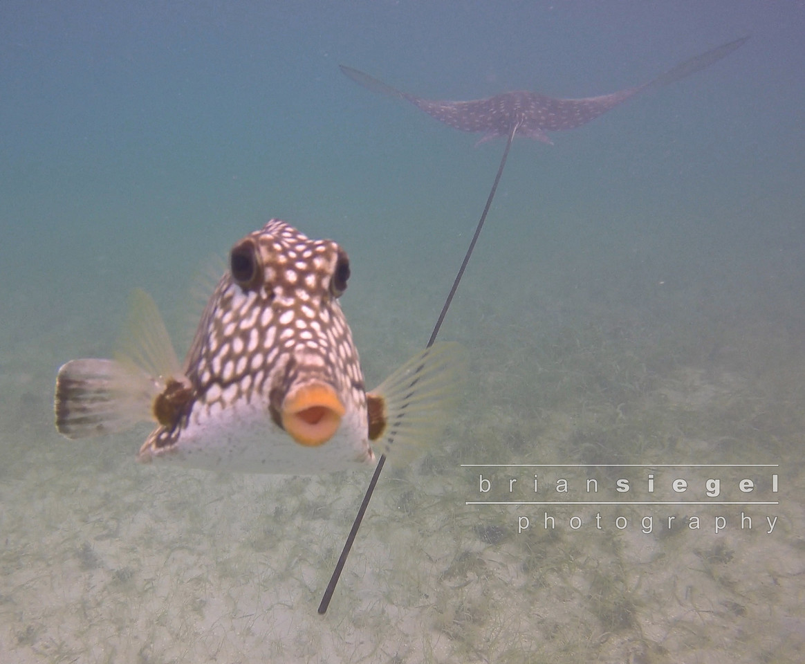 Protective Trunkfish
