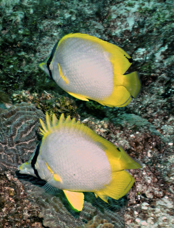 Spotfin Butterflyfish. Diving with Pepe. Cozumel Mexico.