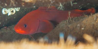 Red Brotula - Sund Rock in Hoodsport, Washington