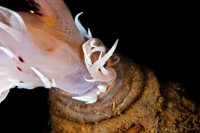 11 of 11 - Nudibranch - Sund Rock in Hoodsport, Washington