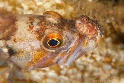Rockfish eating a Cockscomb - Three Tree North in Burien, Washington - Three Tree North in Burien, Washington