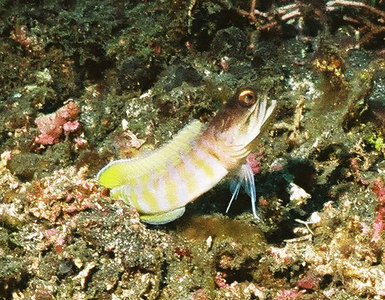 Randall's jawfish. The photo is taken with the wrong lens (28 mm) and is therefore brutally cropped.