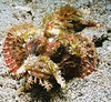 Weedy scorpionfish.