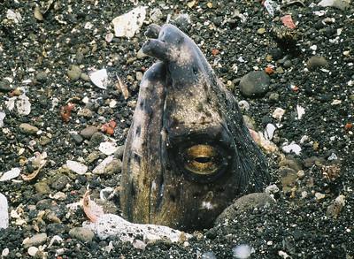 Snake eel.