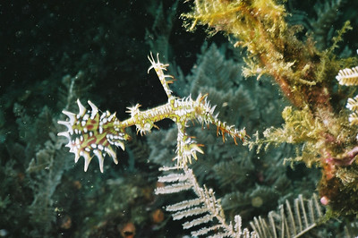 Ornate ghost pipefish seeking shelter.