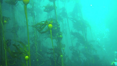 Bull kelp forest and diver, Gord Jenkins, during our safety stop; a 3-minute stop at 15 feet to offload nitrogen before ascending.