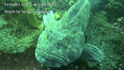 2001 Lingcod - Fastidious, fanged fathers. See blog item at http://themarinedetective.com/2011/03/09/lingcod-fastidious-fanged-fathers/