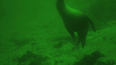 Juvenile Steller sea lion visitation 2011-02-12.