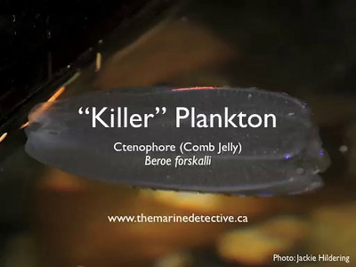 Small video size -  Beroe forskalii - comb jelly / ctenophore