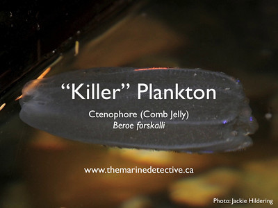 Large video size - Beroe forskalii - comb jelly / ctenophore