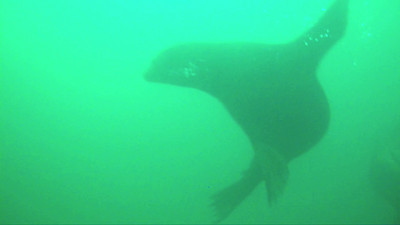 California sea lions barking underwater.  One Steller sea lion is amongst them.