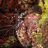 Coral Banded Shrimp