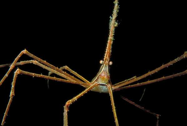 An Arrow Crab perches on spindly legs on a coral head.